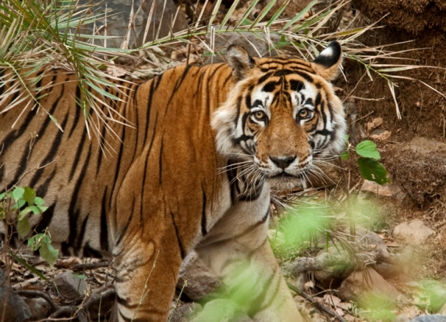 Sariska-National-park-tiger-reserve