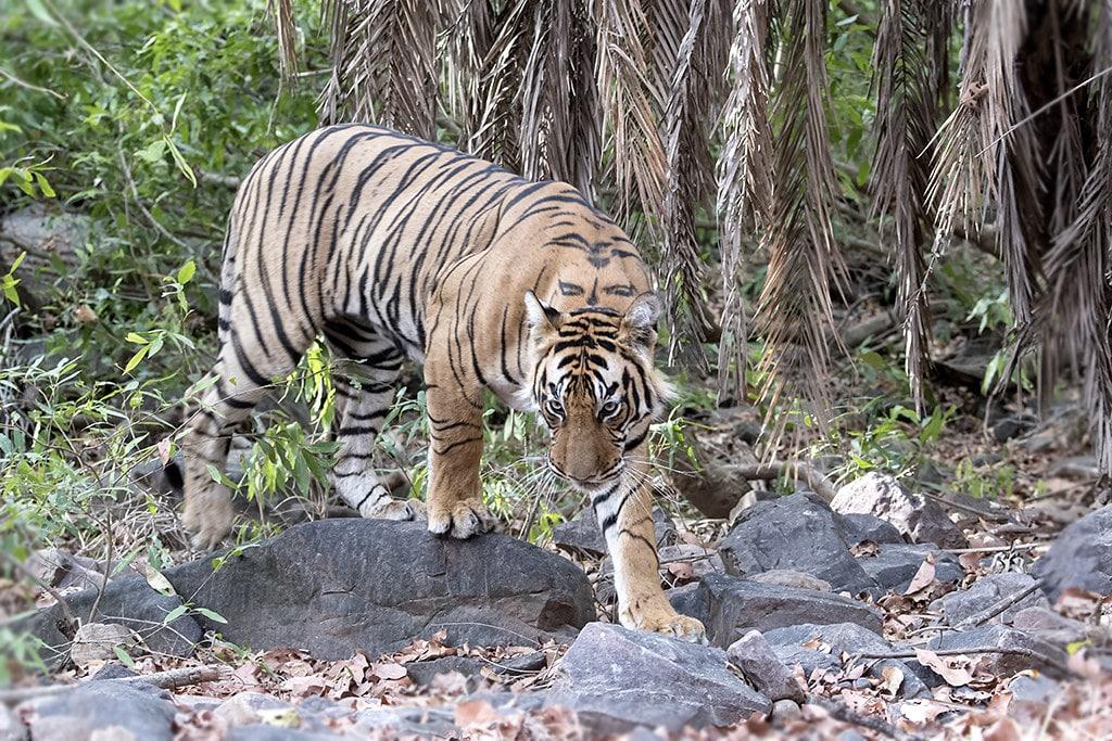 Ranthambore Tiger Reserve (2020) Sawai Madhopur India